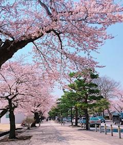 こっちの桜は散りましたが..!