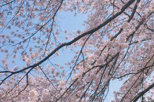 m0oNxretqfP6mnXNIgL l 300x200 - 桜🌸